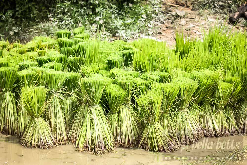 Young green shoots of rice ready to be replanted
